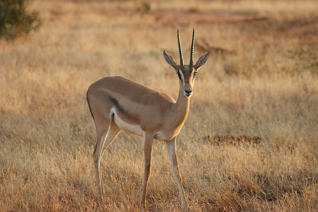 malá antilopa