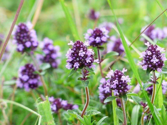 fialové bylinky
