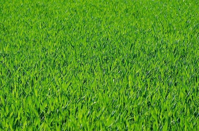 anglický trávník.jpg