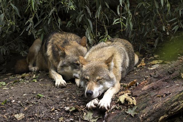 spánek vlků