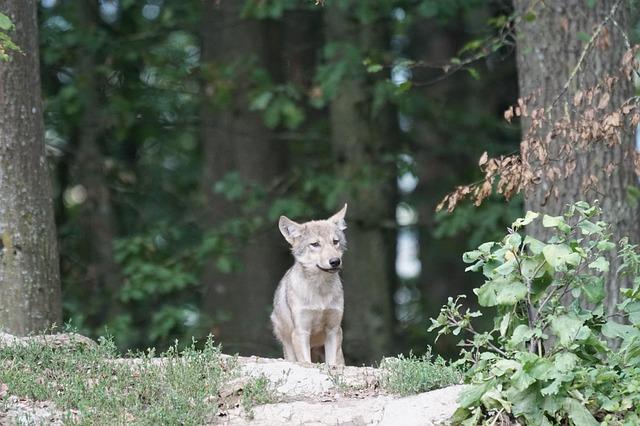 malý vlk